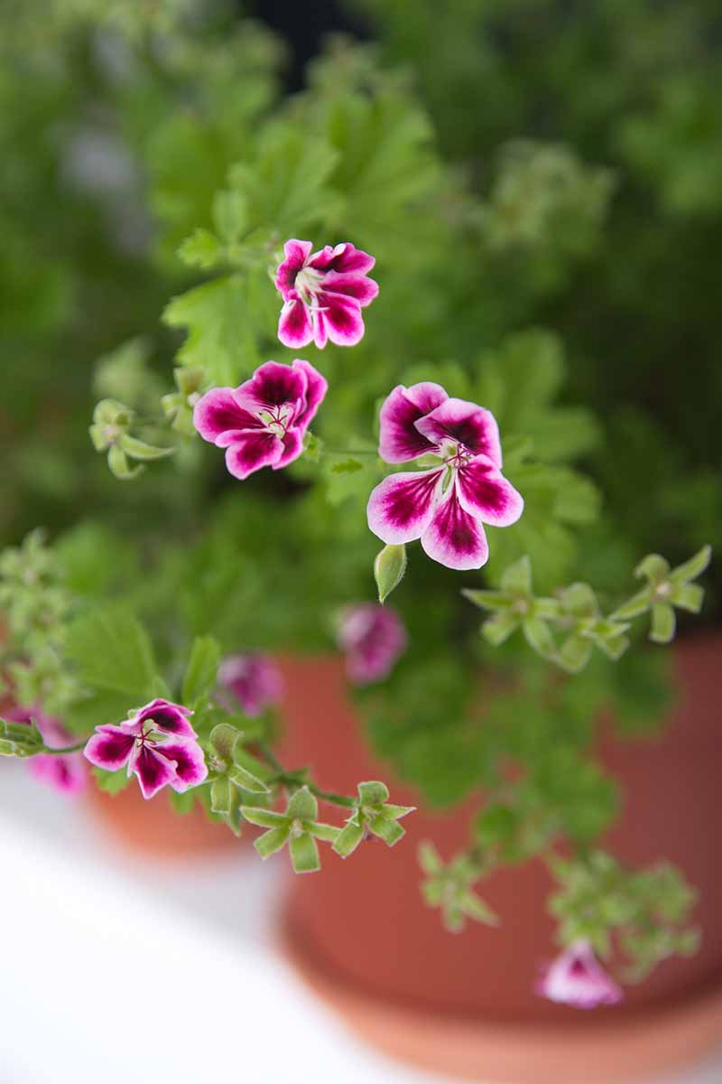 A close up vertical image of the bright pink and purple flowers of Pelargonium growing in a pot pictured on a soft focus background.