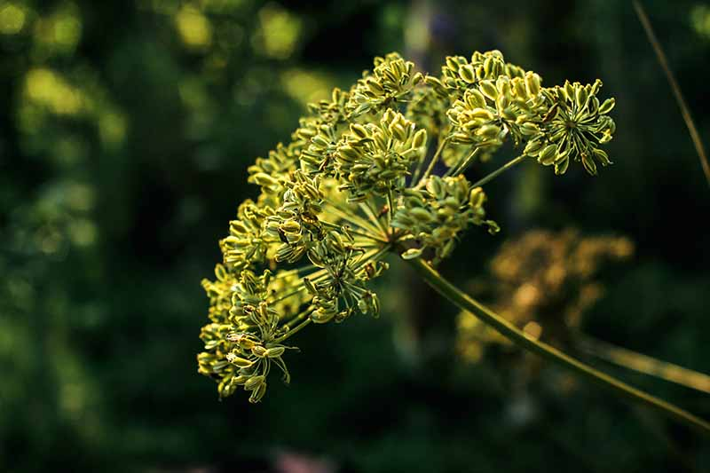 A close up of the flower head of Pimpinella anisum growing in the garden pictured on a dark soft focus background.