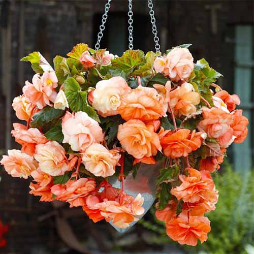 A close up square image of a hanging basket filled with apricot colored begonias pictured on a soft focus background.