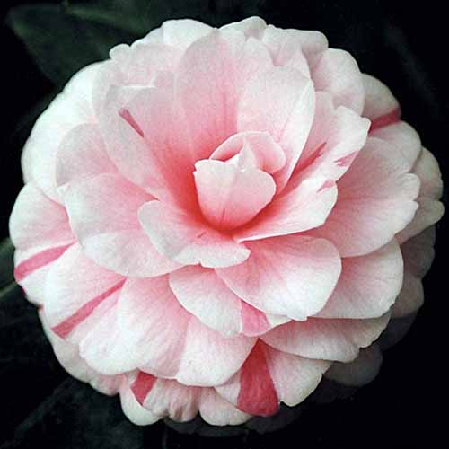 A close up square image of a 'April Dawn' camellia flower pictured on a dark background.