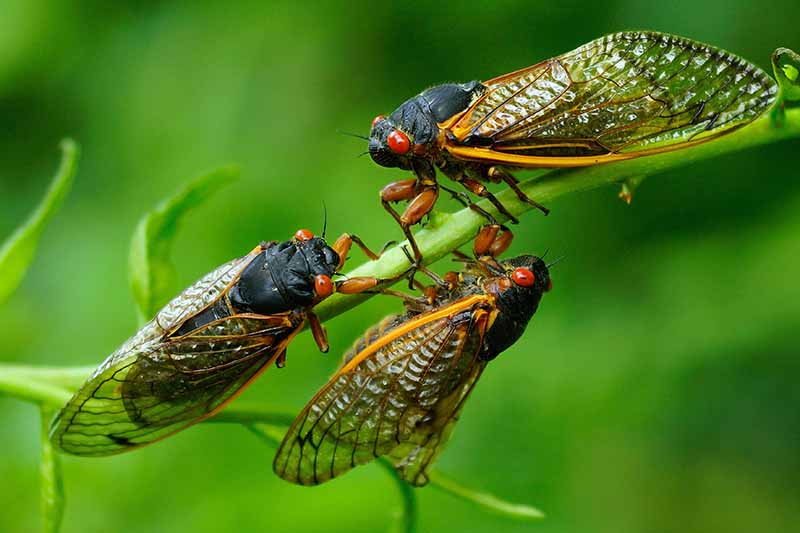 A close up horizontal image of three cicadas on the branch of a tree pictured on a green soft focus background.