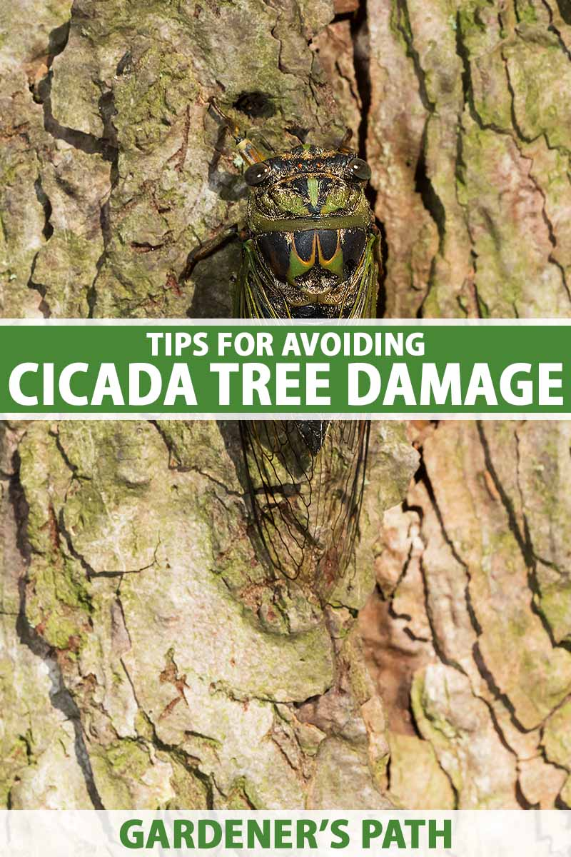 A close up vertical image of a cicada on a tree. To the center and bottom of the frame is green and white printed text.