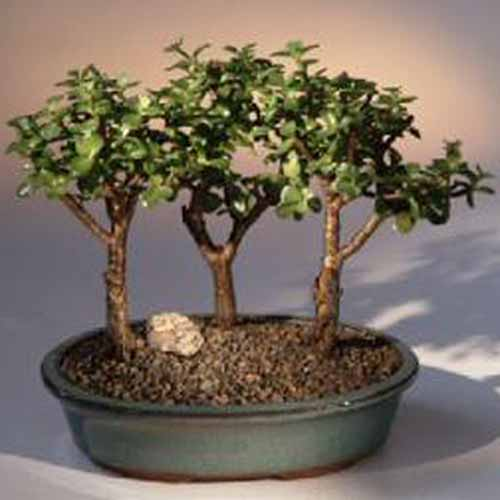 A close up square image of baby jade, three bonsai trees growing in one container pictured on a soft focus background.