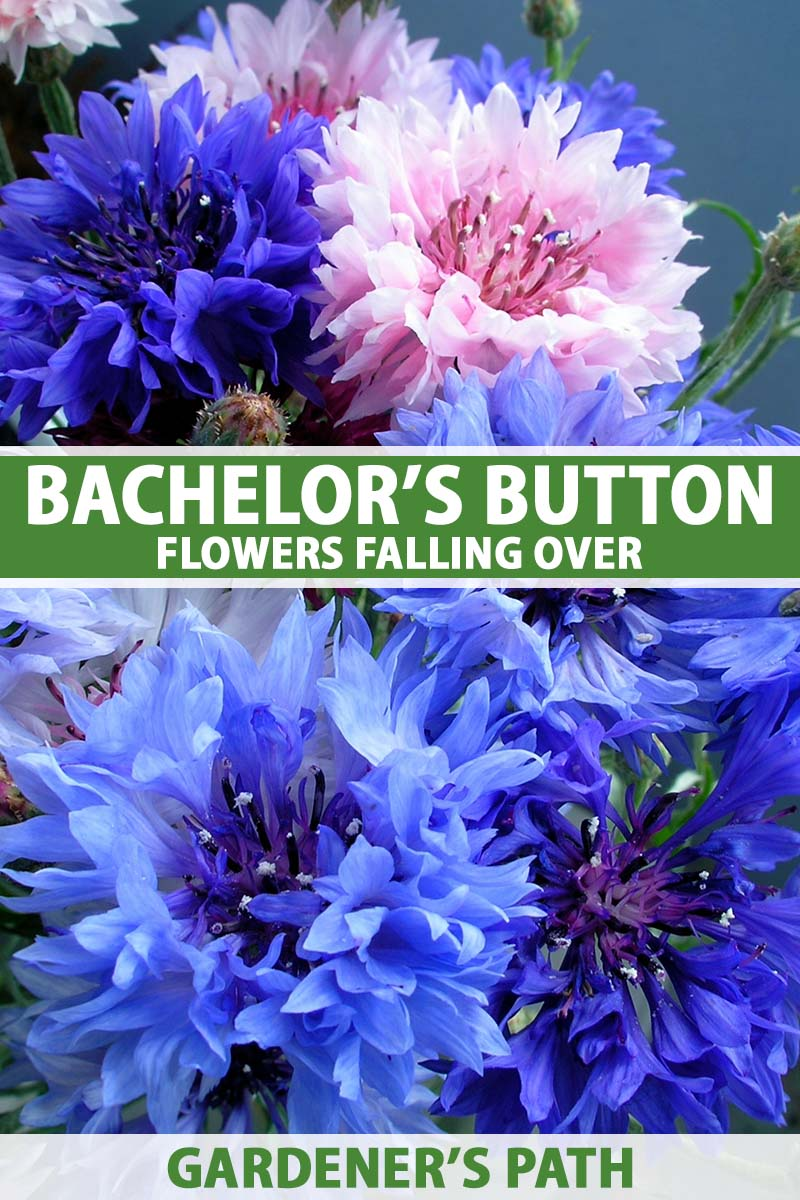 A close up vertical image of blue and pink bachelor's button flowers in a bouquet. To the center and bottom of the frame is green and white printed text.