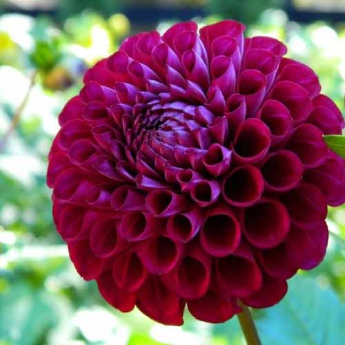 A close up square image of a dark red ball dahlia 'Ivanetti' growing in the garden pictured on a soft focus background.