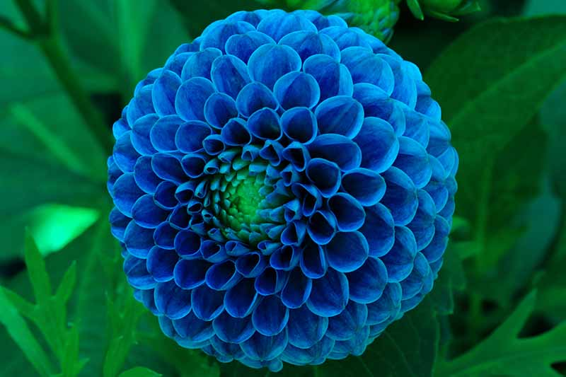 A close up horizontal image of a Ball type dahlia growing in the garden pictured on a soft focus background.