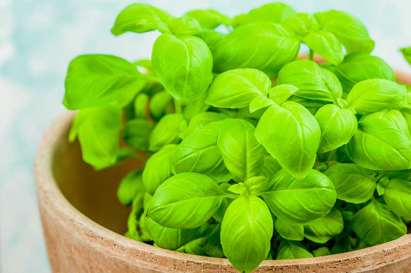 Close up of a young basil plant in a pot.