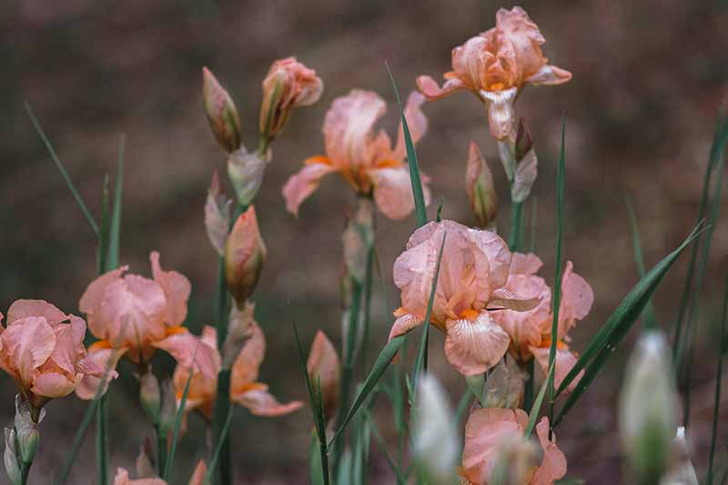 A close up horizontal image of pink iris flowers blooming in the spring garden pictured on a soft focus background.