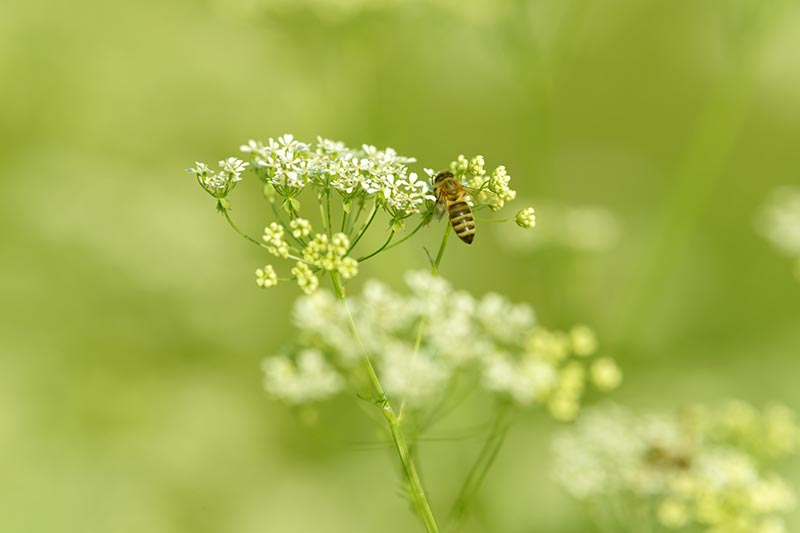 A close up horizontal image of a bee feeding on a Pimpinella anisum flower pictured on a soft focus background.