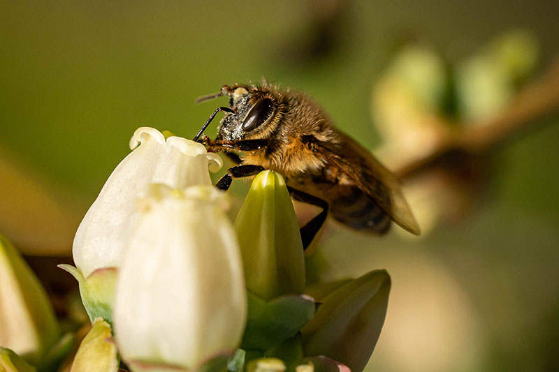 A close up horizontal image of a bee feeding from a white flower pictured on a soft focus background.