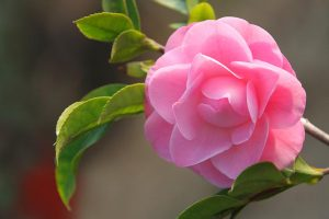 11 of the Most Beautiful Camellia Varieties to Grow at Home