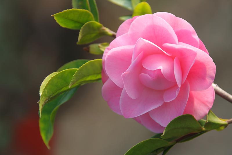 A close up horizontal image of a pink camellia flower pictured on a soft focus background.