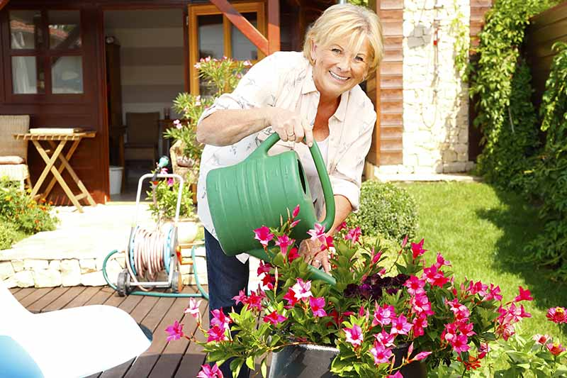 A close up horizontal image of a woman with a green plastic watering can adding moisture to a pot of flowering azaleas on a wooden deck with a house in the background.
