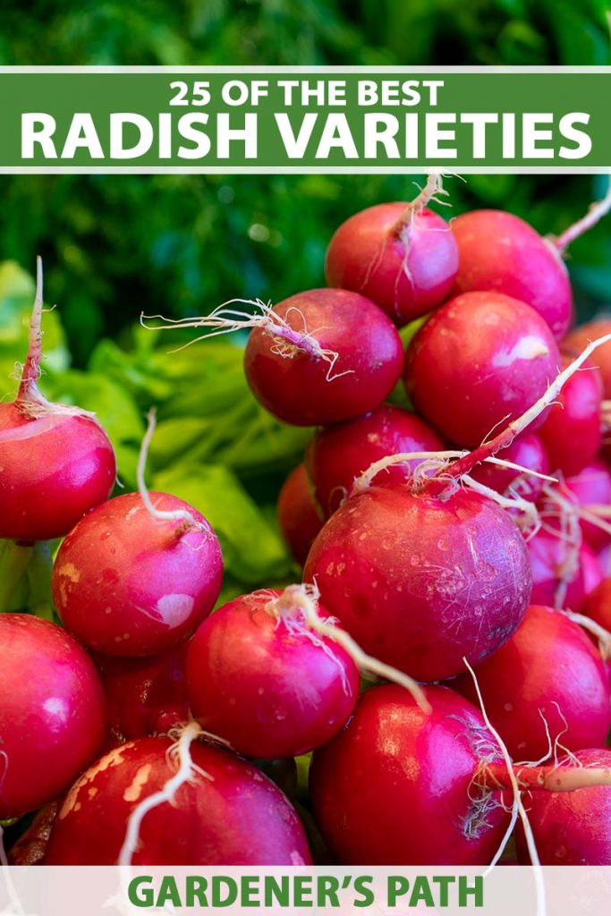 A close up vertical image of red radishes harvested from the garden. To the top and bottom of the frame is green and white printed text.