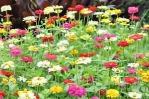 15 of the Best Zinnia Varieties to Grow in the Garden