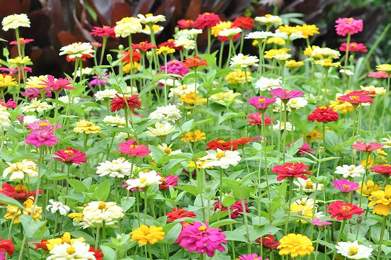 A close up horizontal image of a large swath of different colored zinnias growing in the garden.