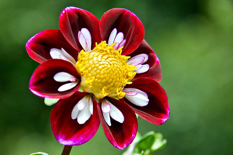A close up horizontal image of a deep red and white bicolored Collarette dahlia with a bright yellow center pictured on a soft focus background.