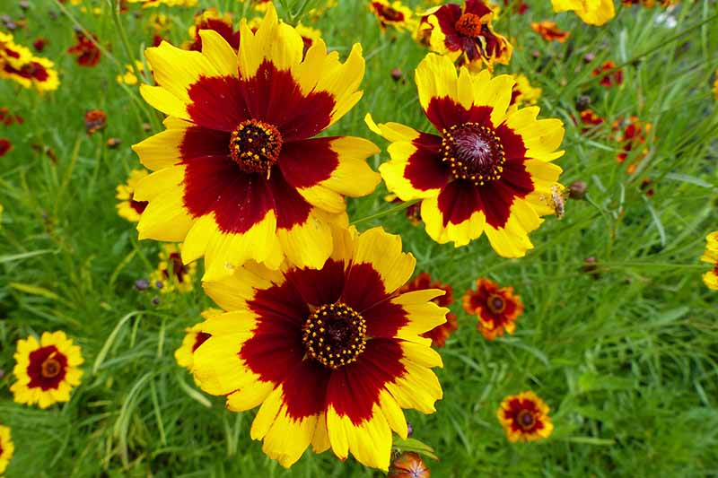 A close up horizontal image of bicolored yellow and deep red flowers growing in a wildflower meadow.