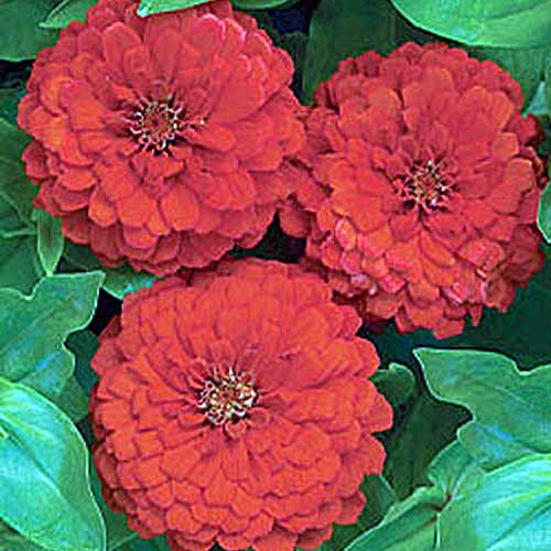 A close up square image of bright red 'Big Red' flowers growing in the garden.