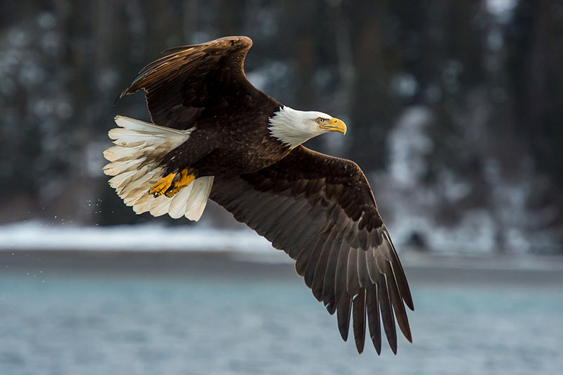 A close up horizontal image of an American bald eagle flying over a body of water, pictured on a soft focus background.