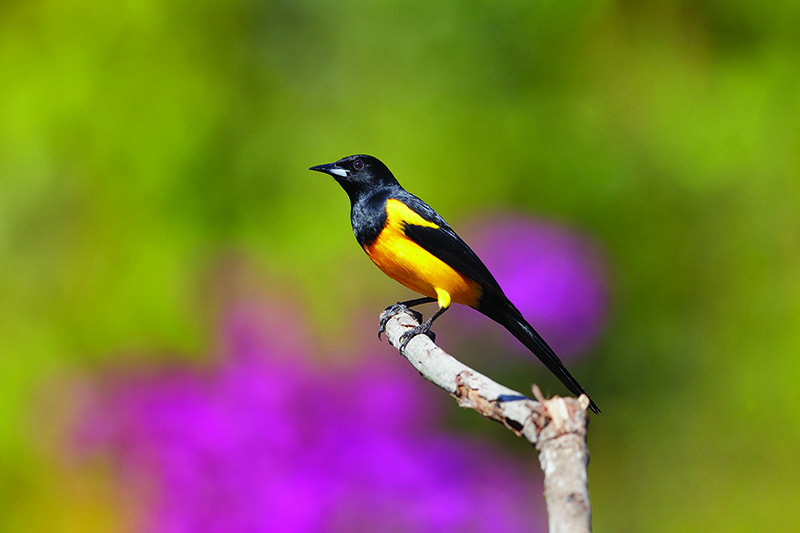 A close up horizontal image of a black-tailed oriole on the branch of a tree pictured on a soft focus green and purple background.