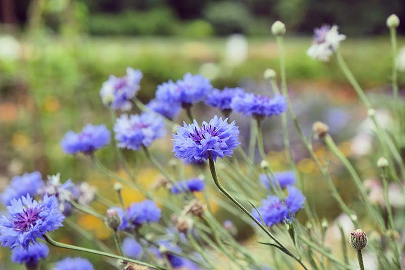 A close up horizontal image of bright blue Centaurea cyanus flowers growing in a meadow pictured on a soft focus background.