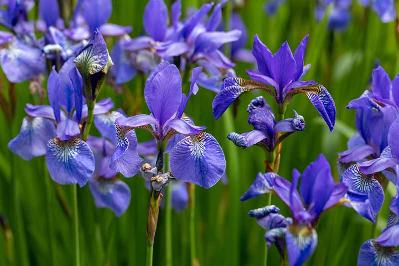 A close up horizontal image of blue flag iris flowers (I. versicolor) growing in the garden.