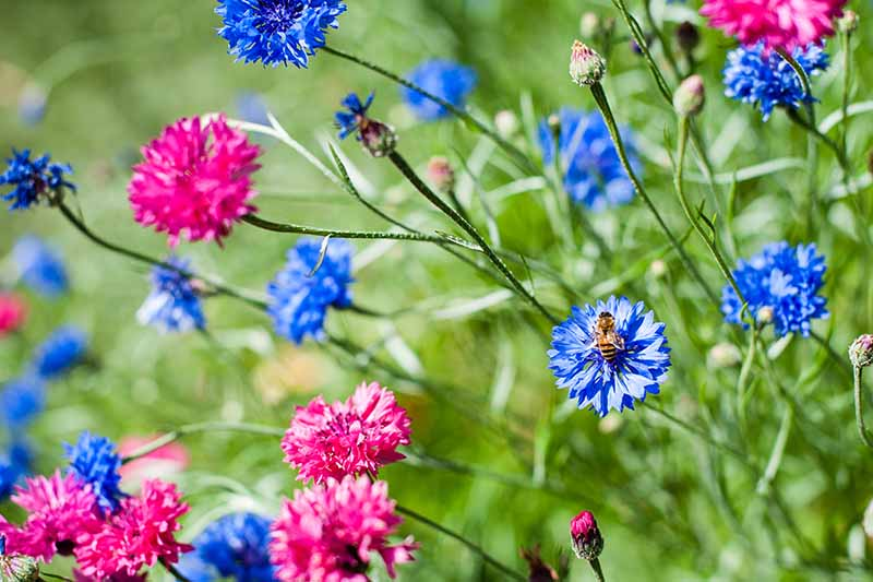 A close up horizontal image of pink and blue bachelor's button flowers growing in the garden pictured in bright sunshine on a soft focus background.