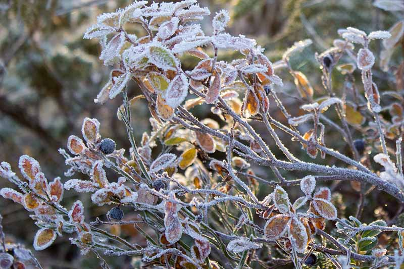 A close up horizontal image of a blueberry shrub covered in a light dusting of frost pictured in winter sunshine.