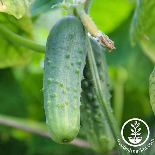 A close up square image of a 'Boston Pickling' cucumber growing in the garden pictured on a soft focus background. To the bottom right of the frame is a white circular logo with text.