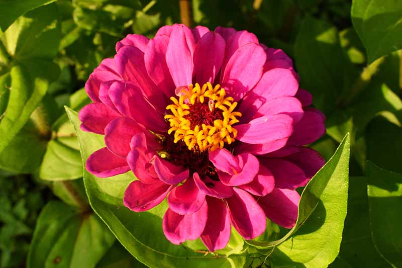 A close up horizontal image of a bright pink semi double flower growing in the garden pictured in bright sunshine on a soft focus background.