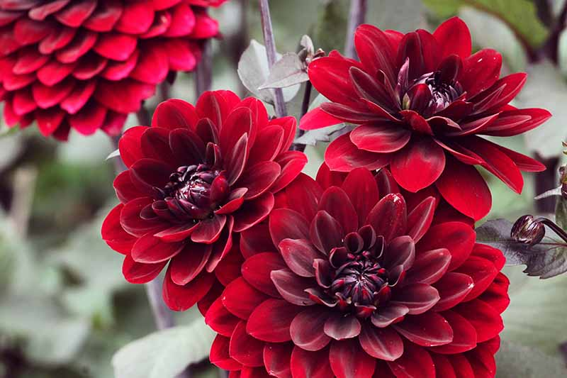 A close up horizontal image of a bright red waterlily dahlia flowers growing in the garden pictured on a soft focus background.
