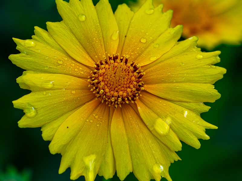 A close up macro image of a bright yellow coreopsis flower with water droplets on the petals pictured on a soft focus background.