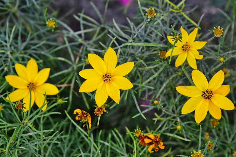 A close up horizontal image of bright yellow coreopsis flowers growing in the garden.