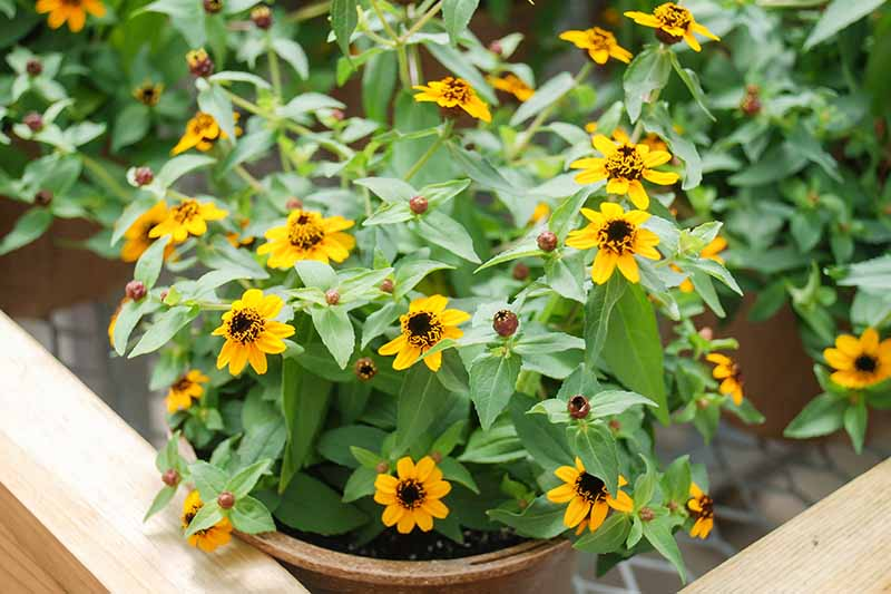 A close up horizontal image of bright yellow zinnia flowers growing in pots.