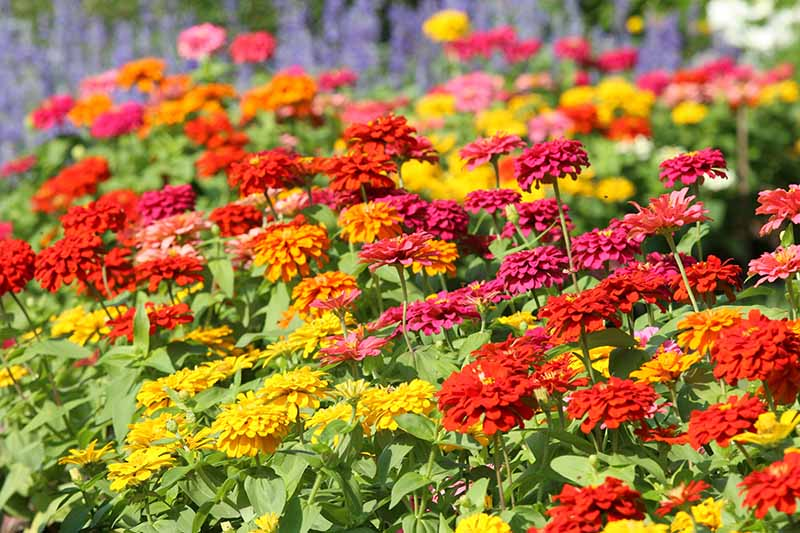 A horizontal image of a swath of zinnia flowers growing in a garden border pictured in bright sunshine.