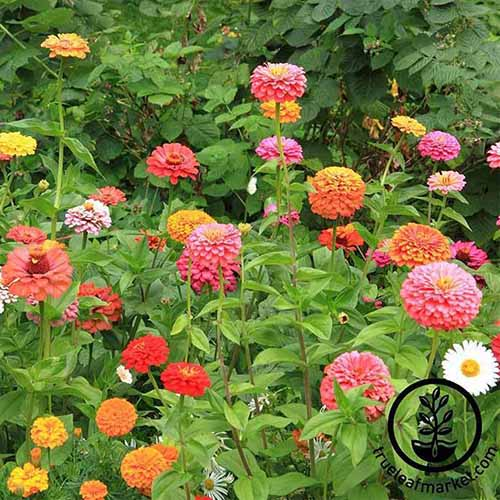 A close up square image of different colored 'California Giant' zinnia flowers growing in the garden. To the bottom right of the frame is a black circular logo with text.