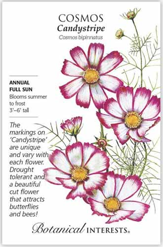 A close up vertical image of a packet of Cosmos 'Candystripe' seeds with text to the left of the frame and a hand drawn illustration to the right.