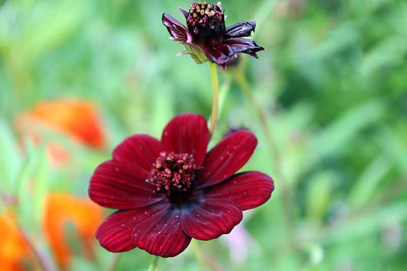A close up horizontal image of a 'Chocolate' cosmos flower growing in the garden pictured on a soft focus background.