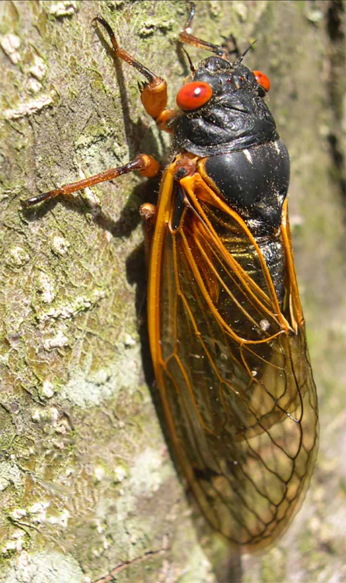 A close up vertical image of a cicada on the trunk of a tree pictured in bright sunshine.