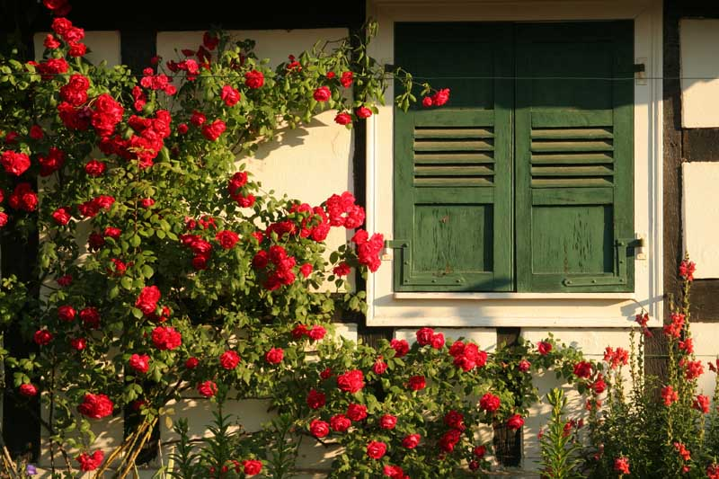 Red climbing roses accent this Tudor-style outbuilding, beside a window with green shutters.