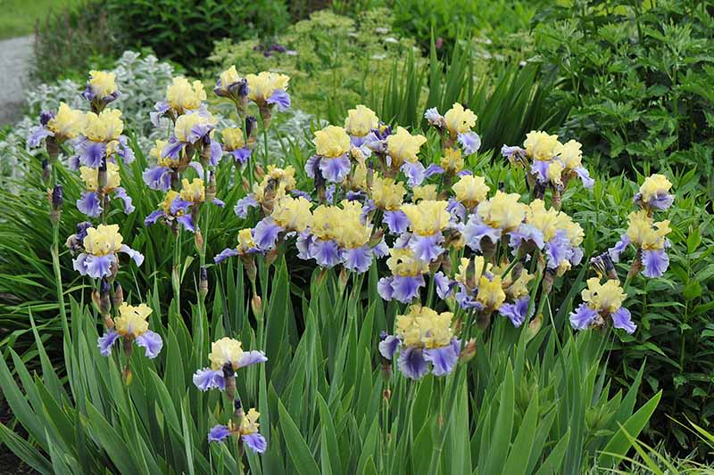 A close up horizontal image of blue and yellow bearded iris flowers blooming in the spring garden.