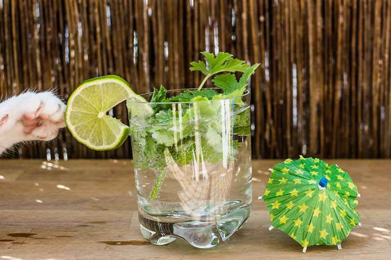 A close up horizontal image of a glass with a cocktail garnished with a slice of lime and scented geranium leaves, set on a wooden surface with a small cocktail umbrella to the right of the frame and a cat's paw to the left.