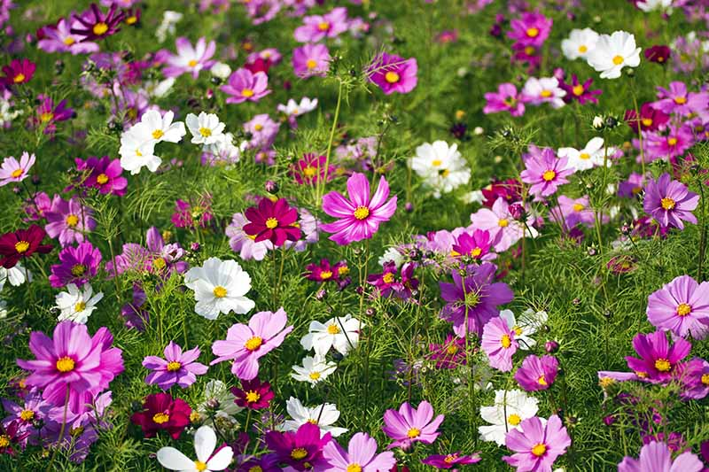 A horizontal image of pink, purple, and white cosmos flowers growing en masse in the garden.