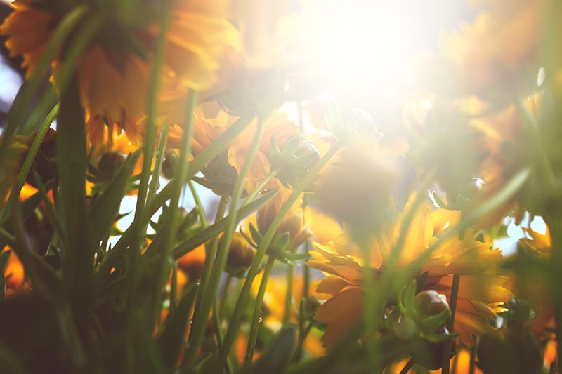 A close up horizontal image of the undersides of native coreopsis flowers growing in the garden pictured in the evening sunshine.