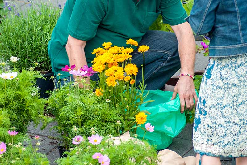 A horizontal image of an adult and a child planting yellow coreopsis flowers in a container.