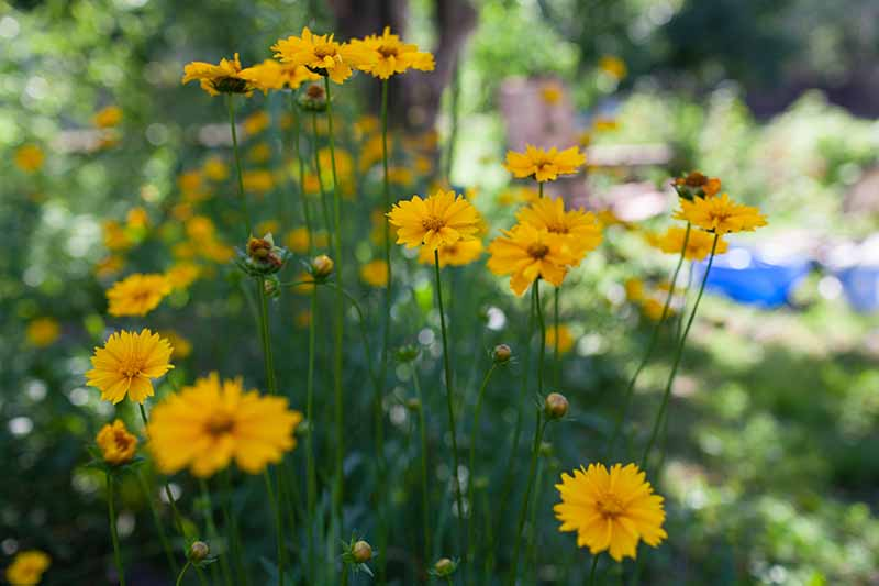 A close up horizontal image of yellow flowers growing in the garden pictured on a soft focus background.