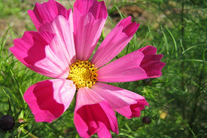 A close up horizontal image of a bright pink Cosmos bipinnatus 'Radiance' flower growing in the garden pictured in bright sunshine.