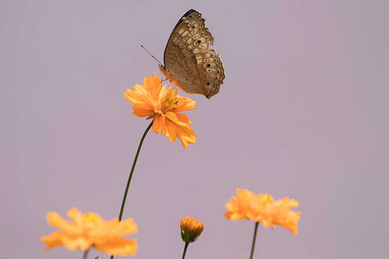 A close up horizontal image of a 'Bright Light Orange' flower with a butterfly pictured on a soft focus background.