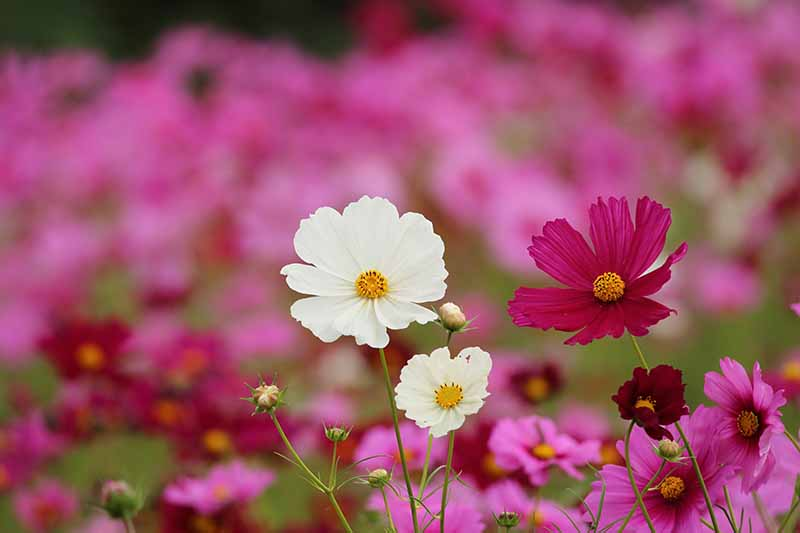 A close up horizontal image of a large swath of pink and white cosmos flowers growing in the garden fading to soft focus in the background.